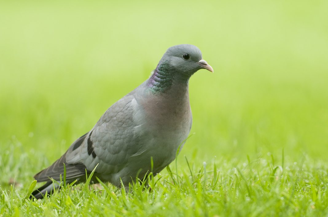Le pigeon colombin
