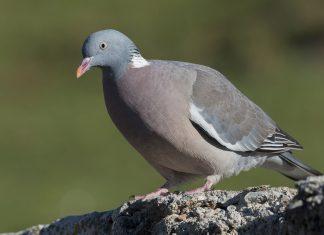 Le pigeon ramier ou la palombe