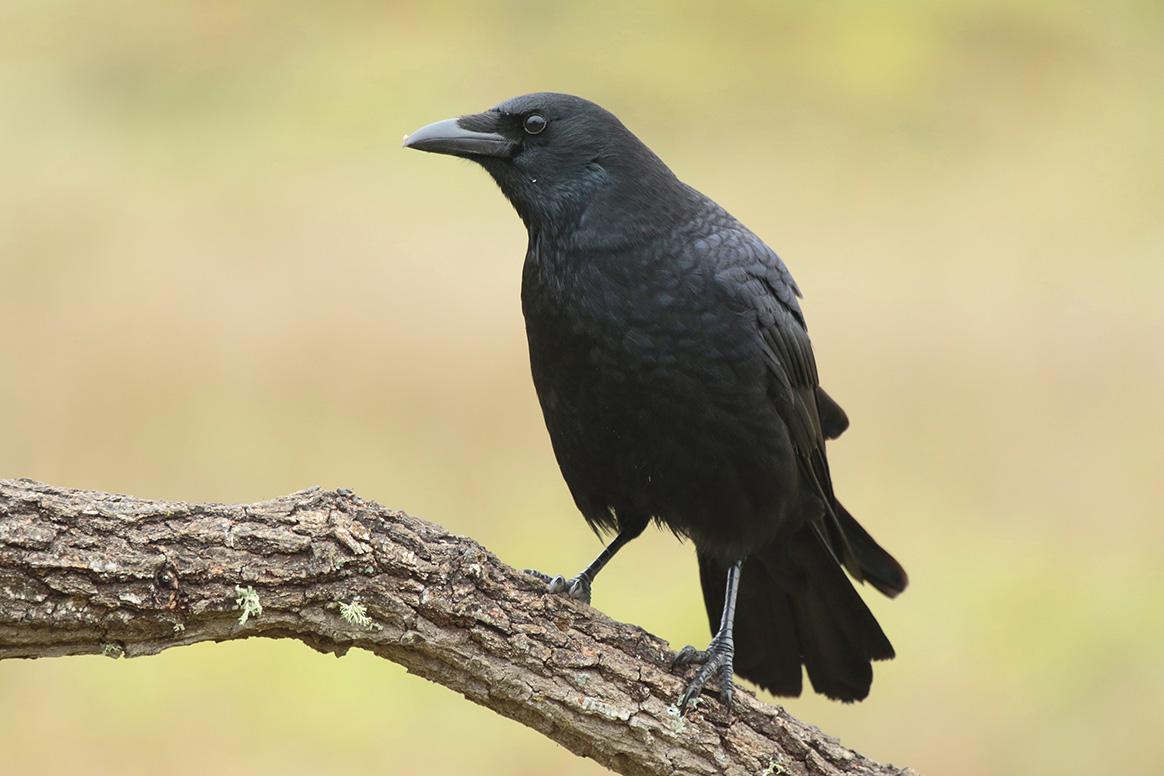 La corneille noire