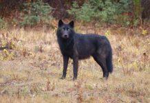 Loups noir