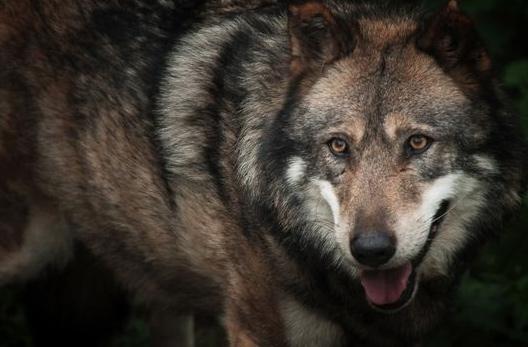 annulation d'une autorisation préfectorale accordée aux chasseurs de tuer des loups lors de battues au grand gibier.