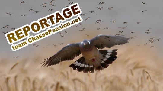 chasse aux pigeons ramier en angleterre