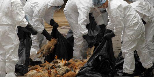 Grippe aviaire : après la Corse, un deuxième foyer dans les Yvelines