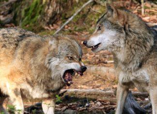 loups-meurthe-moselle