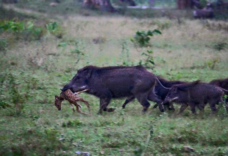 Des Cochons Mangeurs De Cervid 233 S Chasse Passion