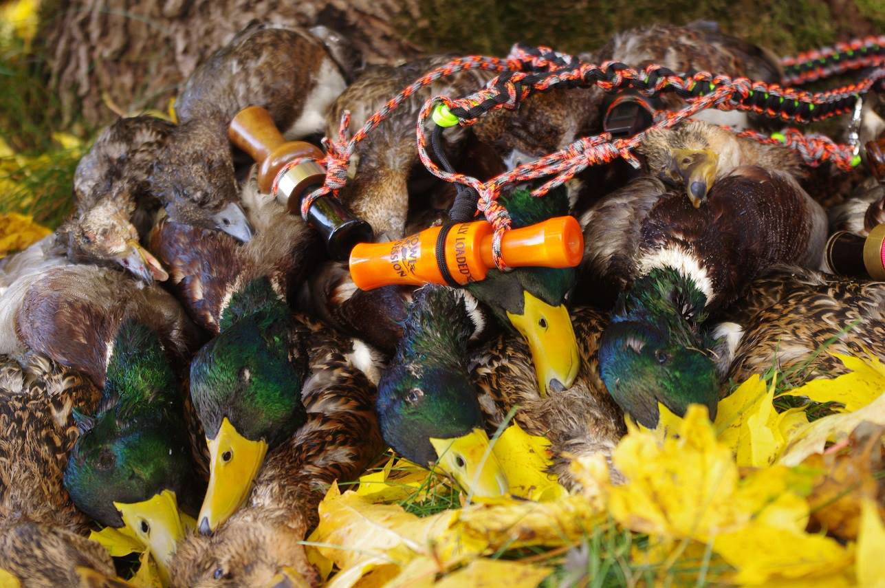 Chasse canard colvert, sarcelle, siffleur Suède