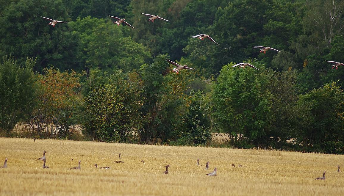 Chasse aux oies et aux canards en Suède