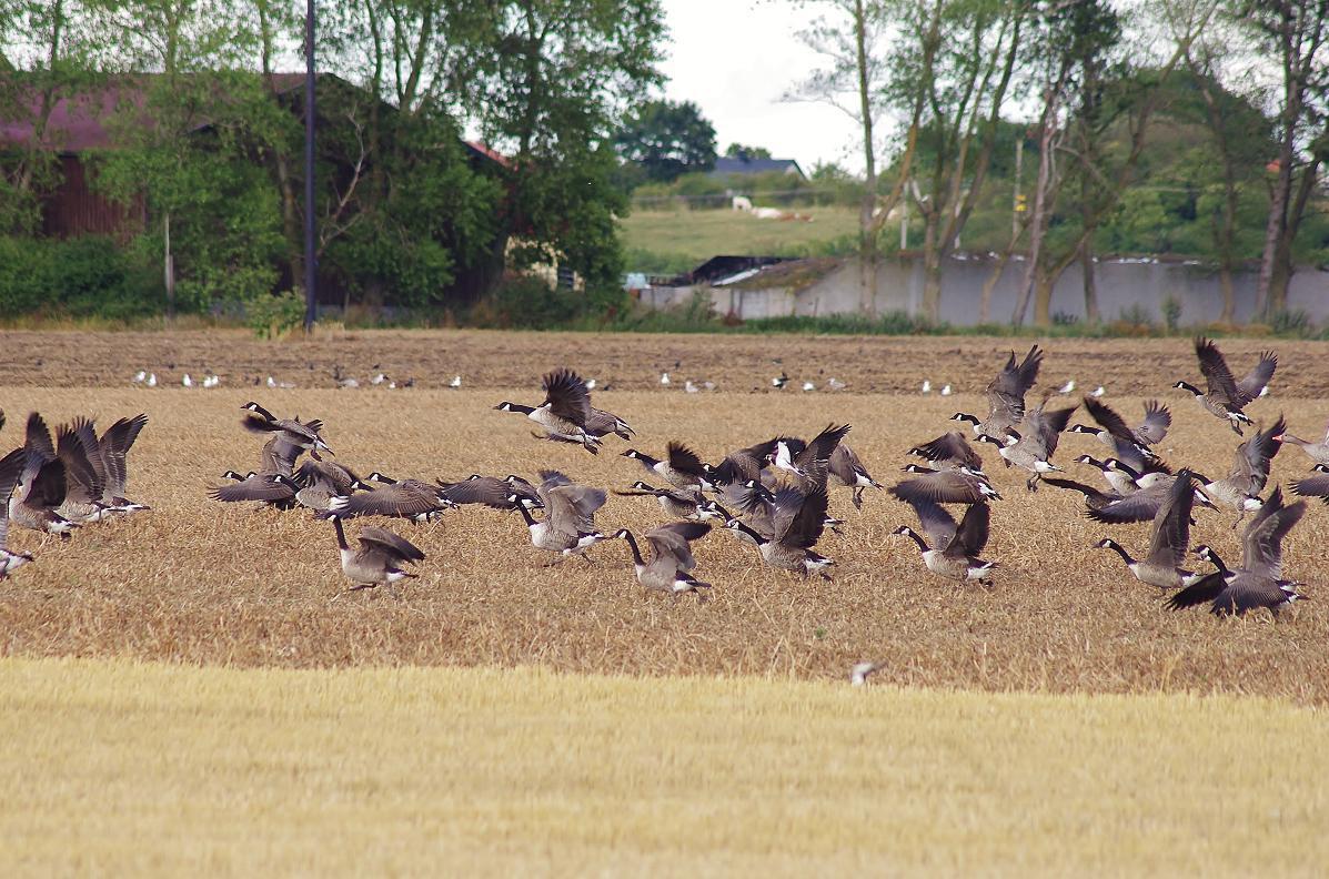 Chasse aux canards et aux oies en Suède