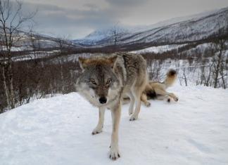La chasse aux loups ouverte en Norvège