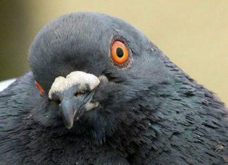 pigeon-cerveau