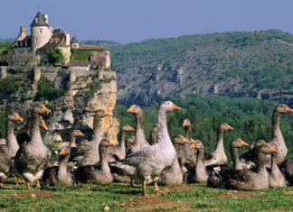elevage-oie-grippe-aviaire