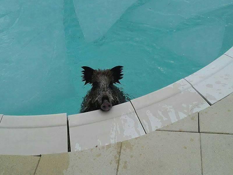 sanglier-piscine