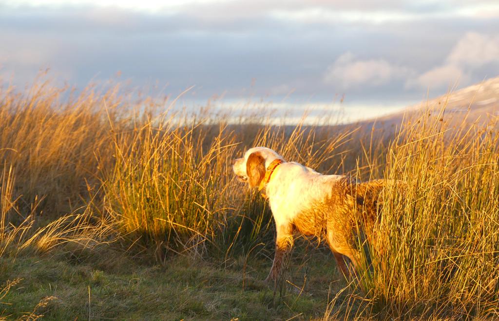 chasse-becasse-ecosse-chien-arret