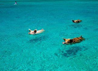 cochon-bahamas