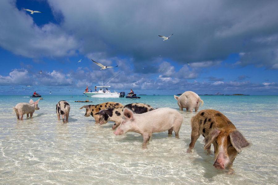 cochon-bahamas1