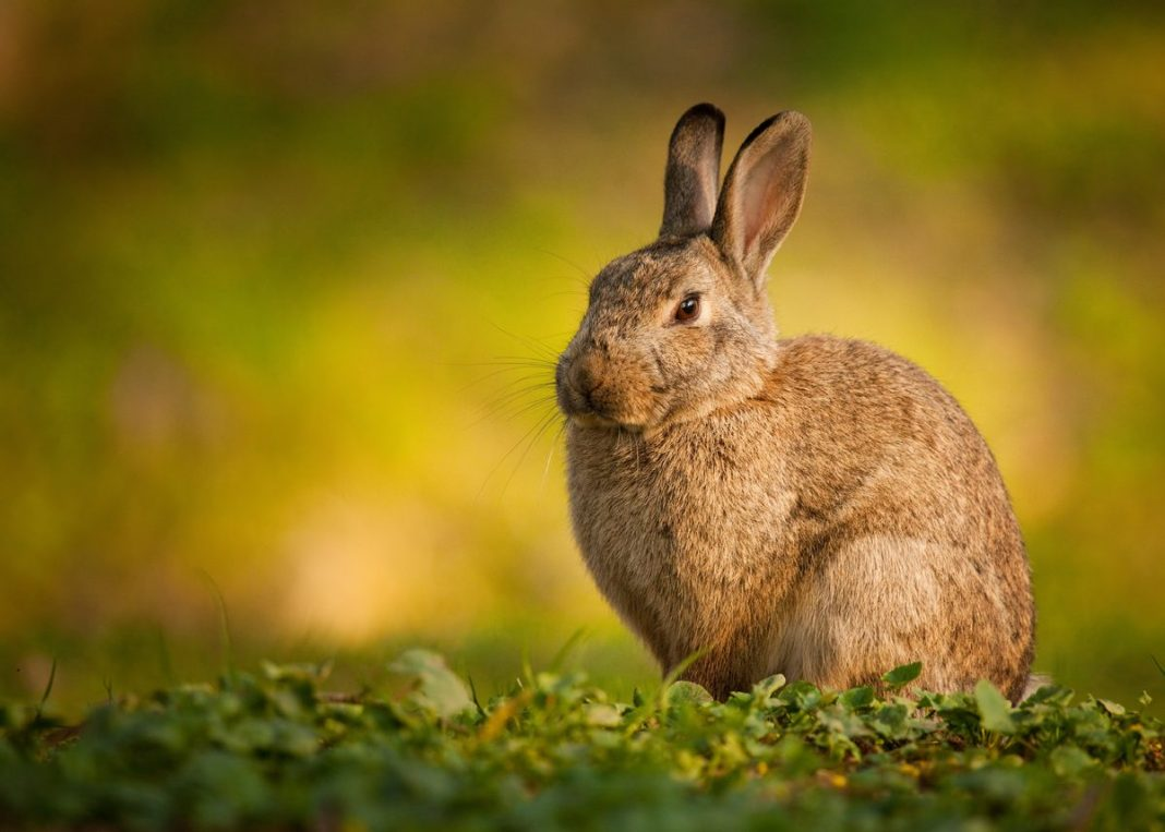 photo de lapin de garenne