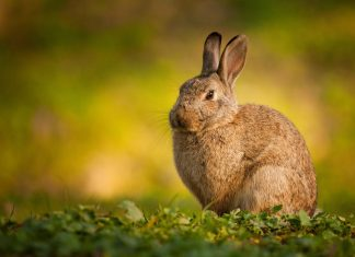photo de lapin de garenne