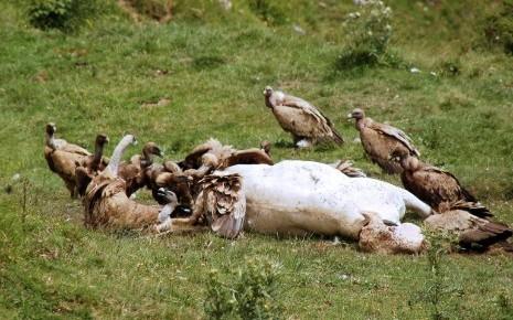 vautour-genisse-haute-savoie