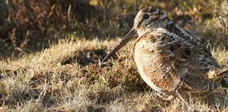 Chasse à la bécasse en forêt domaniale de Mormal (ONF)