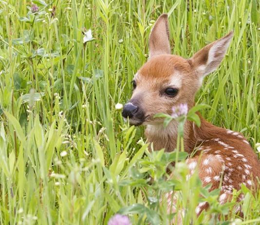 Un faon abattu par une association anti chasse