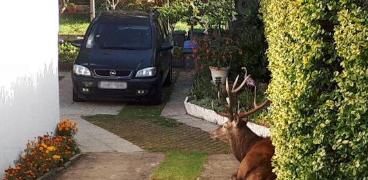 Le cerf a été abattu dans le jardin