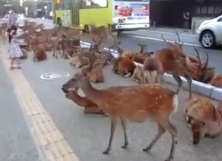 des dizaines de cerfs de Virginie en pleine ville