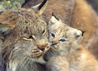 Famille de lynx filmé dans le jura