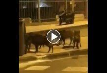 Vidéo : des sangliers en plein Marseille