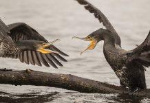 Après le Var et les Vosges, la Loire-Atlantique suspend le tir des cormorans.
