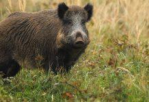 Belgique : vers un allongement de la période de chasse aux sangliers