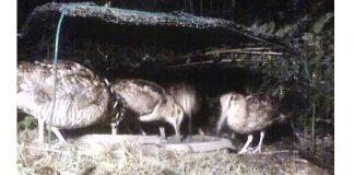 Vidéo : 4 bécasses filmées de nuit en train de vermiller