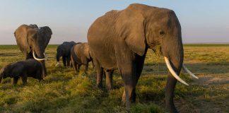Les États-Unis (ré)autorise l'importation de trophées d'éléphant