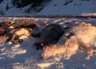 100 rennes percutes par des trains en Norvège