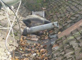 Le sanglier était coincé sur le toit de la maison