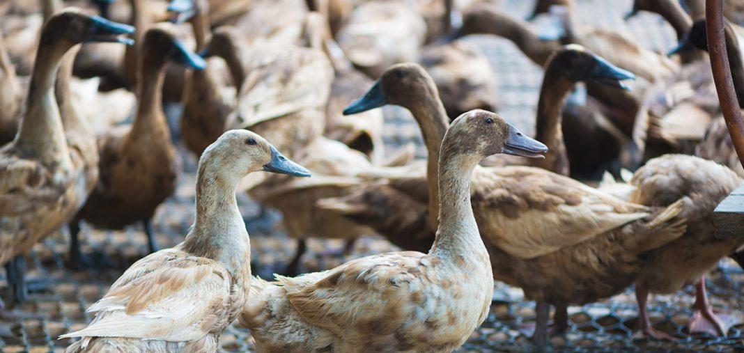 1er cas de grippe aviaire dans le Lot-et-Garonne