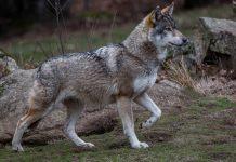 Chasse Passion fait le point sur la situation du loup en France en 2017