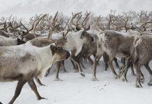 Nouvelle maladie sur le sol norvégien : 2000 rennes vont être abattus