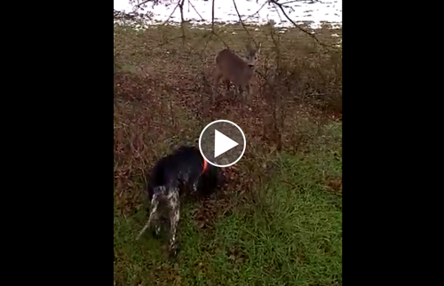 Video Insolite Chien De Chasse A Donner Chasse Passion