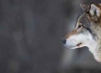 La Suède autorise la chasse de 22 loups