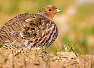 l'Imidaclopride (pesticide) mis en cause dans le décès de perdrix/faisans/pigeons