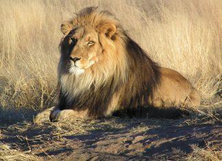 Un braconnier présumé dévoré par des lions