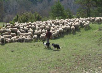 Attaque de loups : un berger retrouve 139 brebis vivantes 2 mois après