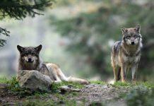 3 loups rentrent dans l'enceinte d'une usine et tuent un chien de garde en Pologne (vidéo)