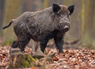 La Pologne va construire 1200km de clôture pour empêcher les sangliers de circuler