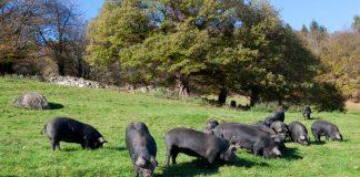 Alerte info : Cas de maladie d'Aujeszky dans les Pyrénées-Atlantiques