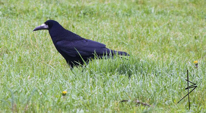 Un corbeau freux