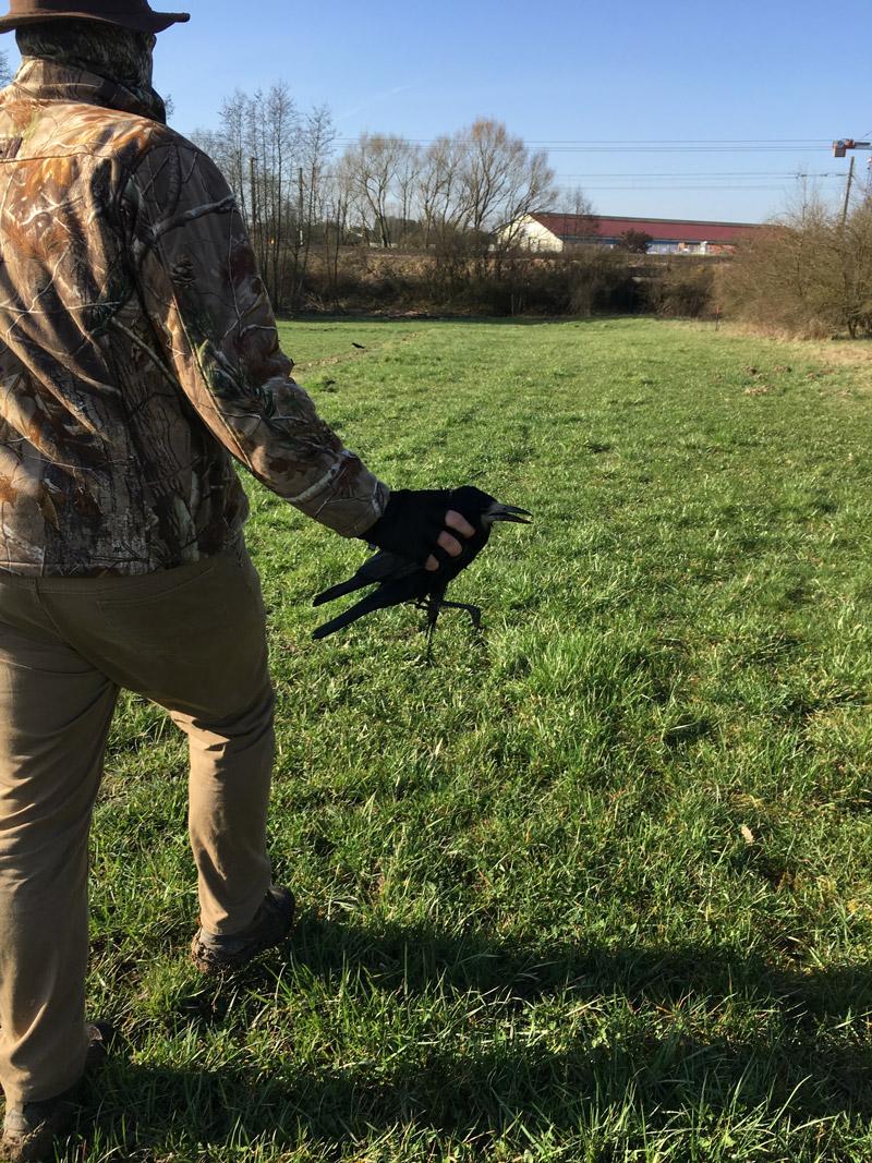 Les appelants vivants de corbeaux sont autorisés à la chasse