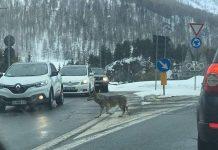 Un loup photographié au milieu d'un rond-point à quelques kilomètres de Briançon