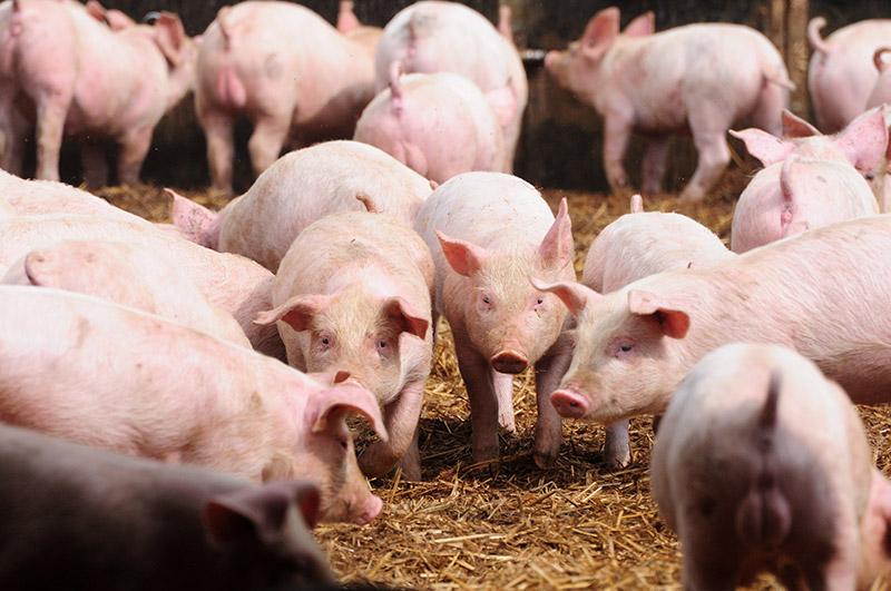 La peste porcine africaine se développe souvent dans les élevages de cochons