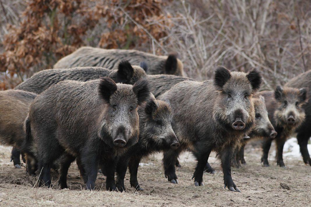 Vidéo : une compagnie de sangliers entière au ferme